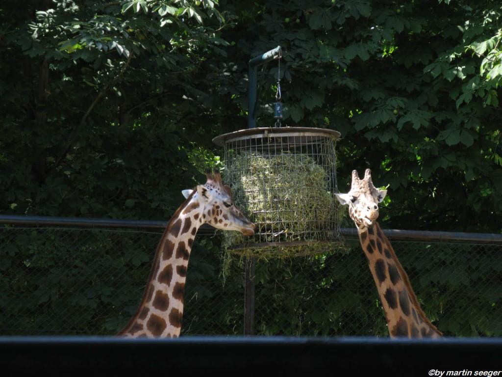 Giraffen im Tierpark Schönbrunn